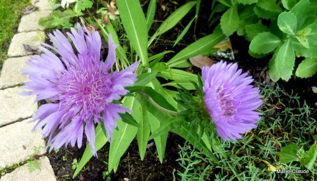 Stokesia Laevis, une belle qui aime le soleil et le compost !
