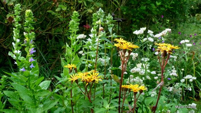 Encore des Lobelia siphitilica avec les fleurs de la Ligularia dentata 'Osiris café noir',