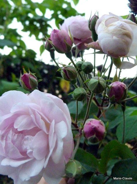 c) Rosier 'Blush Noisette', un rosier de 200 ans puisque créé en 1814, un petit grimpant, au délicieux parfum de girofle, remonte jusqu'à la fin de l'automne,
