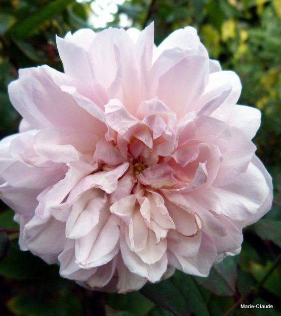 g) Rosa Irène Watts , un rosier ancien, bas, au jardin depuis un an seulement, très belle fleur