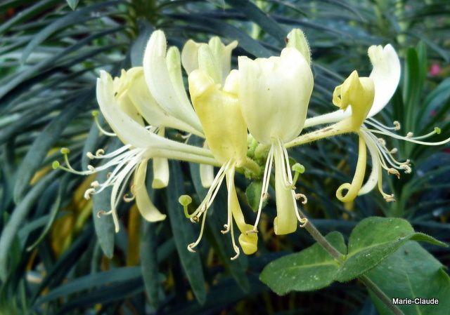 Chèvrefeuille japonica 'Halliana', un parfumeur de jardin,