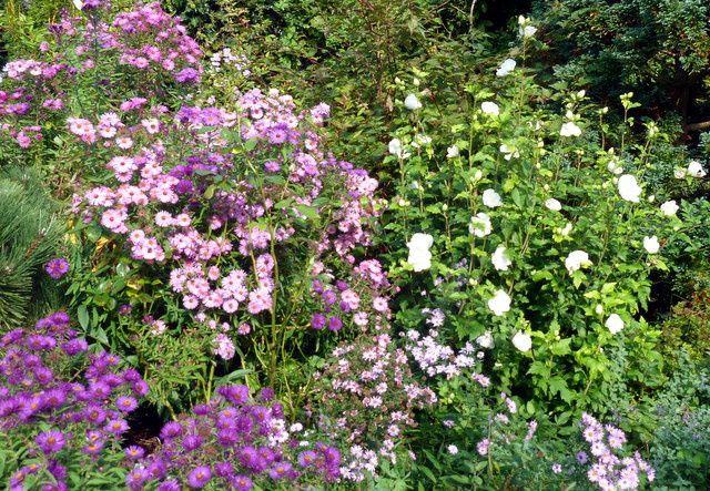 Parmi les asters, nous découvrons l' HIbiscus White Chiffon, une variété aux grandes fleurs blanches demi-doubles,