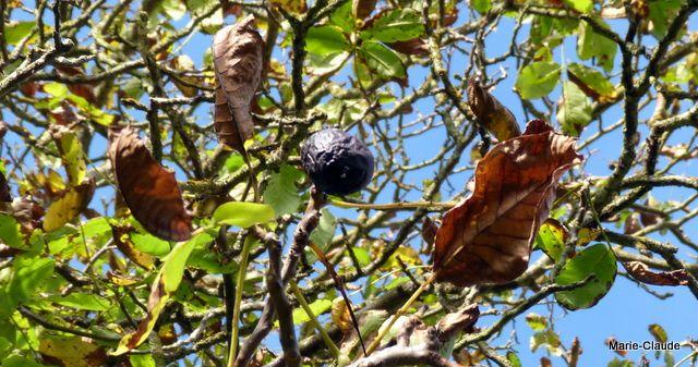Le brou des noix touchées par les vers de la mouche du noyer pourrissent sur la coque
