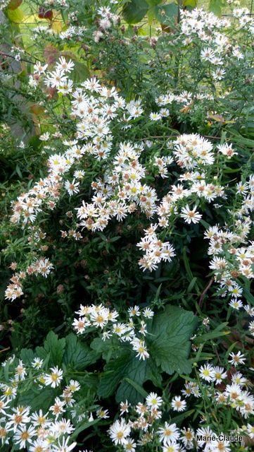Une troisième variété haute qui s'appuie le long du mur et attire nombre d'abeilles, je ne sais pas leur nom, mais je les aime pour leur finesse et leur durabilité,