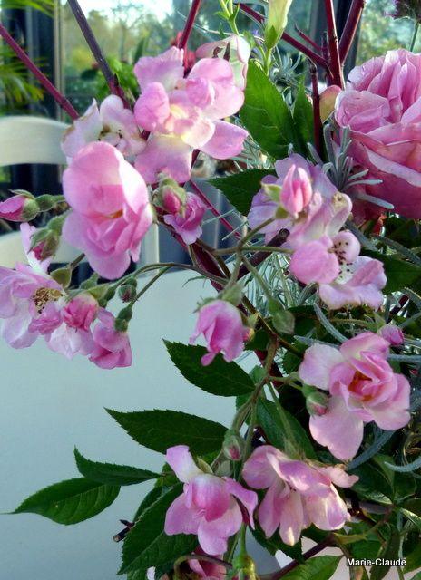 rose A: