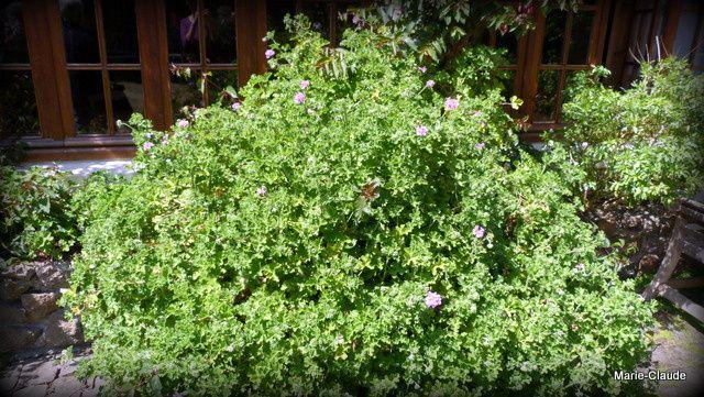 Un pélargonium aux feuilles parfumées, de taille imposante ...