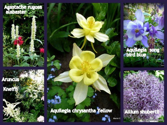Agastache rugosa alabaster , Alcea rosea( pas de photo disponible) , Allium Shubertii,  Aquilegia chrysantha Yellow,  Aquilegia song bird blue, Aruncus Kneifii