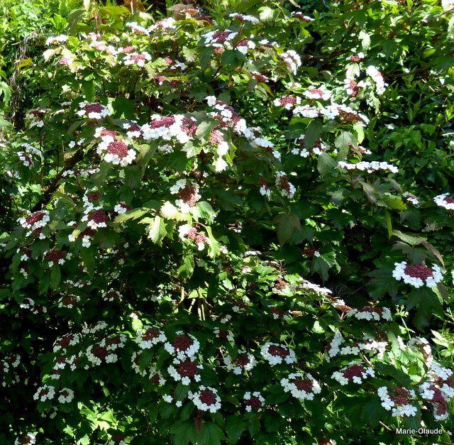 Viburnum plicata