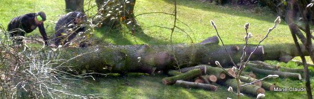 Le tronc est débité en lourds rondins, les branches sont broyées,