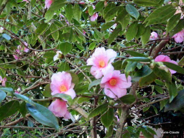 De très beaux camélias, je pense que celui-ci est un sasanqua, au vu de l'allure de l'arbuste,