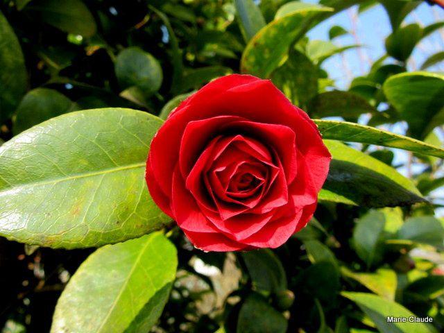 Le Camélia daigne ouvrir ses premières fleurs