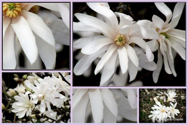Magnolias for ever,