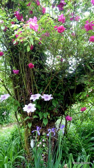 Chronique rosiers du jardin-1-