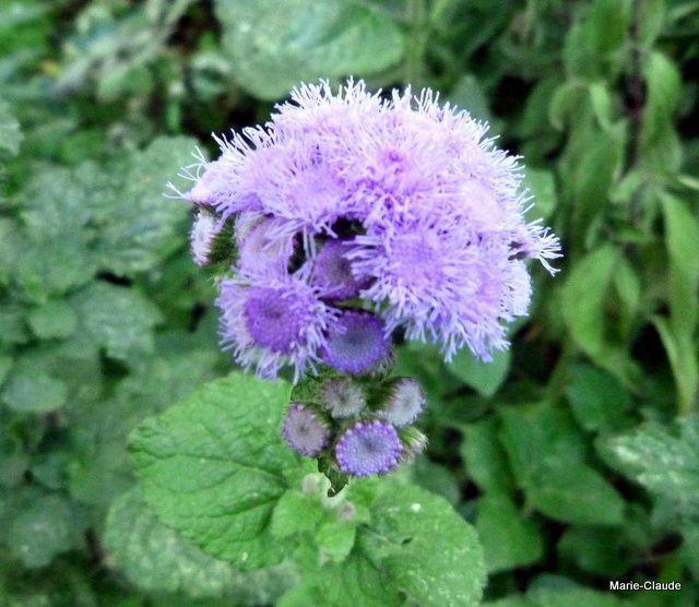 L'appareil photos numériques a bien du mal à restituer le bleu de cette plante