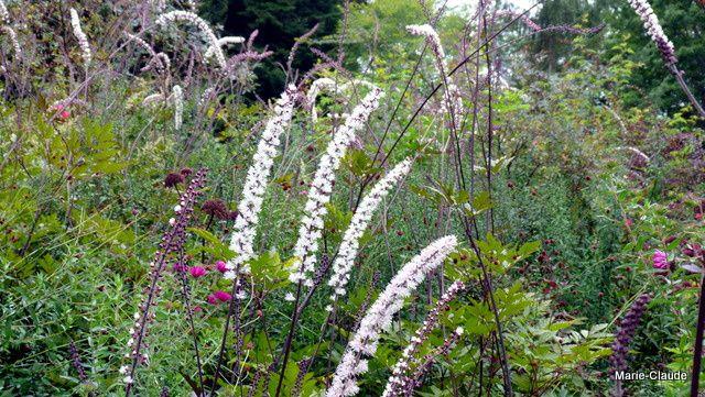 Une forêt d'épis blancs parfumés pour ces Actaea, appelés autrefois Cimifuga,