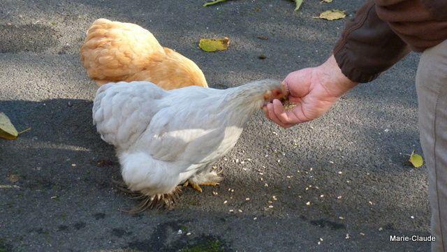 Une poule apprivoisée !