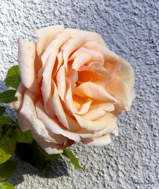 rose 'Paul Ricard'