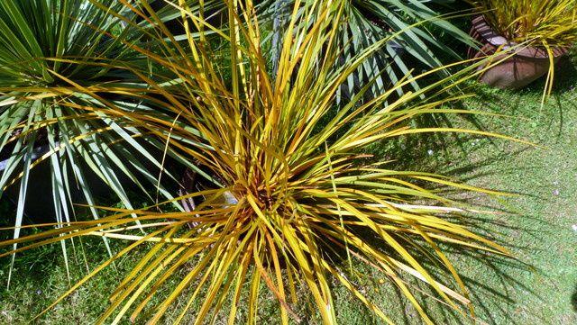 Je me suis retrouvée fascinée  par ces plantes exotiques tel ce Libertia Goldfinger