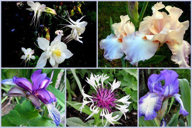 Iris, Ancolies et Bleuets,