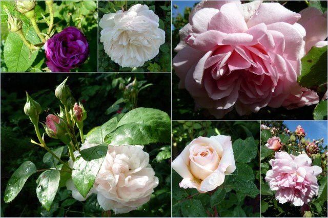 Les premières roses,