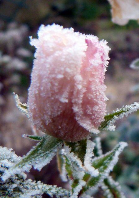 Rose dragée pour ce bouton de fleur du rosier 'Astronomia'