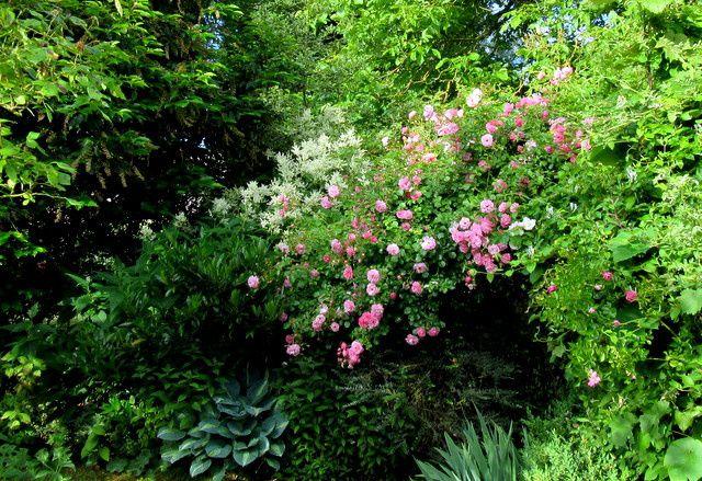 Noyé dans la verdure le rosier grimpant de Veules les roses, un tardif...