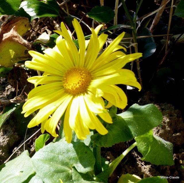 Doronicum  à courte tige , symbole d'un printemps débutant