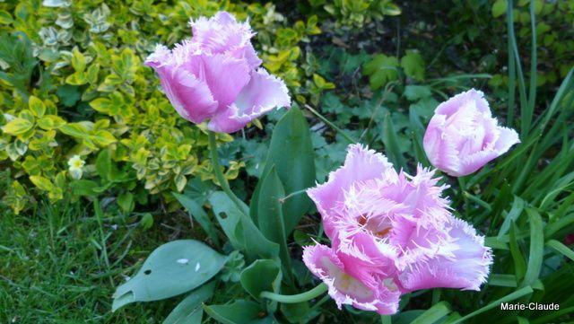 Photo shoot : les tulipes de bon matin,