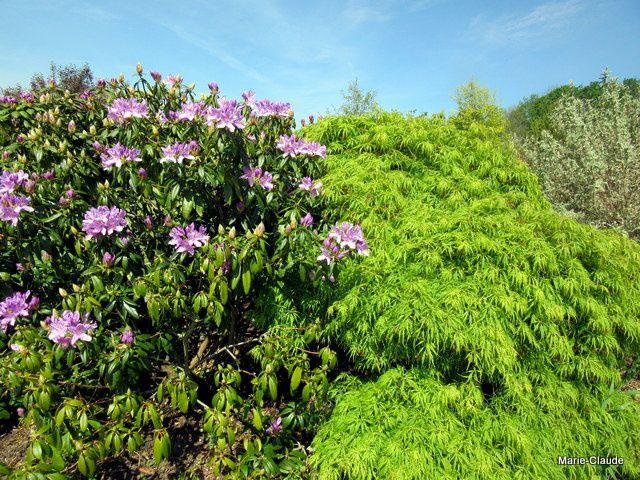 Rhododendron en floraison et Acer palmatum dissectum veridis,