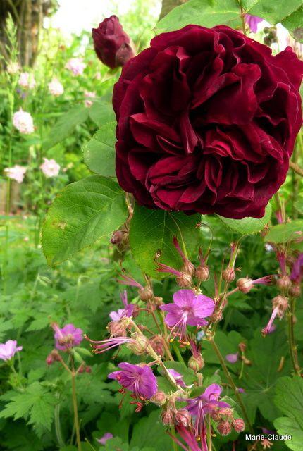 La première rose pourpre sombre du rosier 'Munstead Wood ' jaillit d'un coussin traçant  de Geranium macrorrhizum