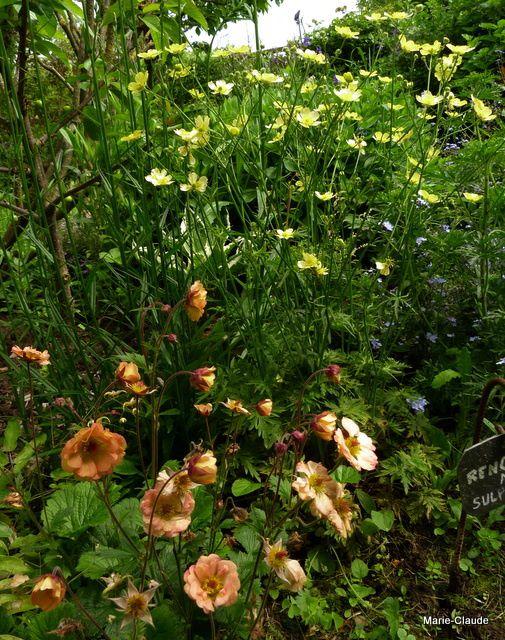 Renonculus acris sulphureum  et Geum Hybride 'mai tai'