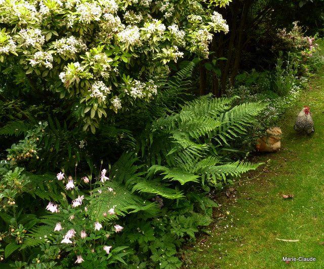 Sous l'ombrage du grand Choisya ternata aurea, fleurit une douce aquilegia,