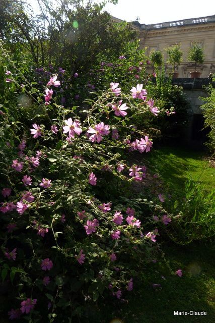 Quand il a de la place, cet arbuste Lavatera s'exprime bien et fleurit tout l'été