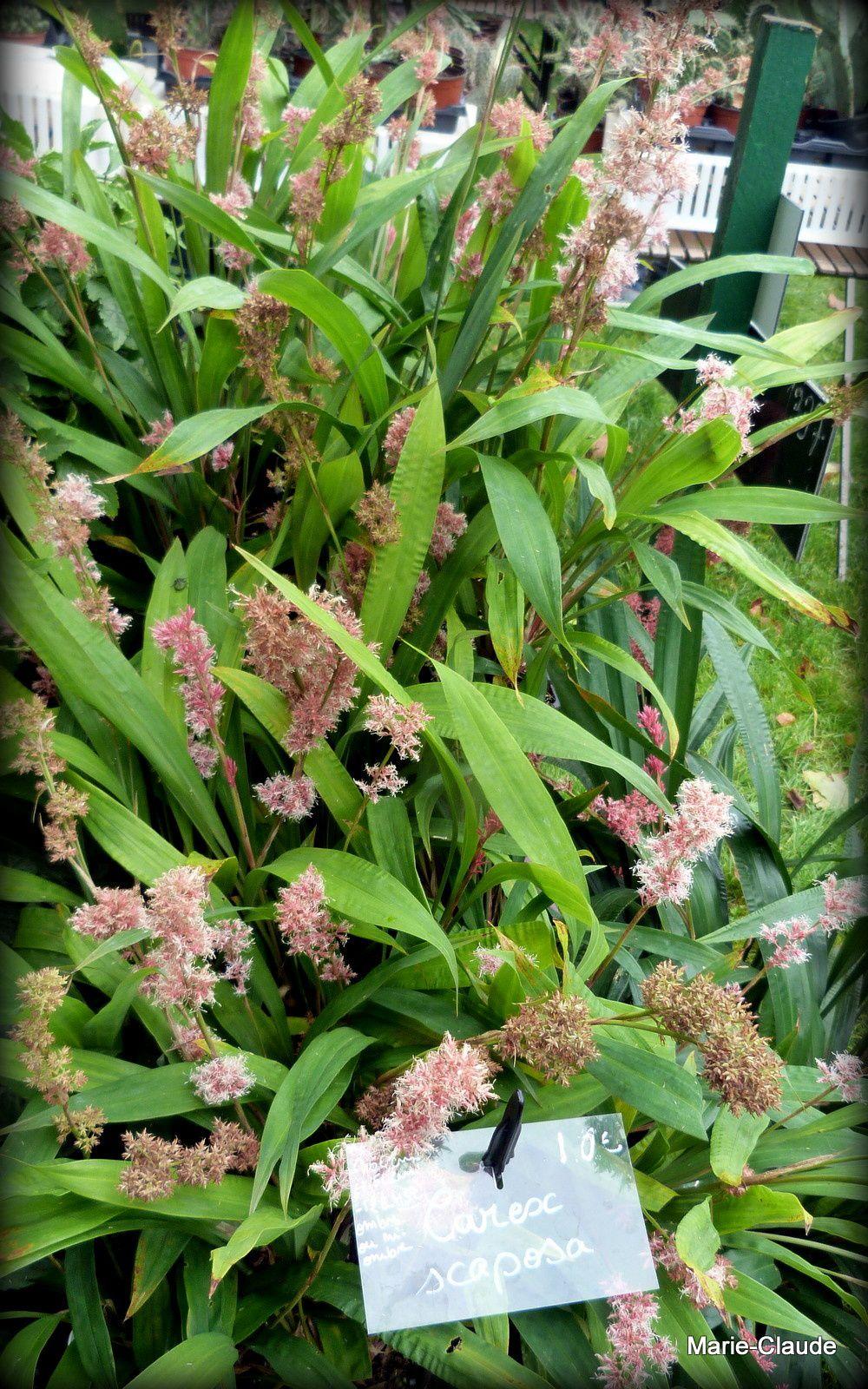 Un Carex scoposa aux épis roses