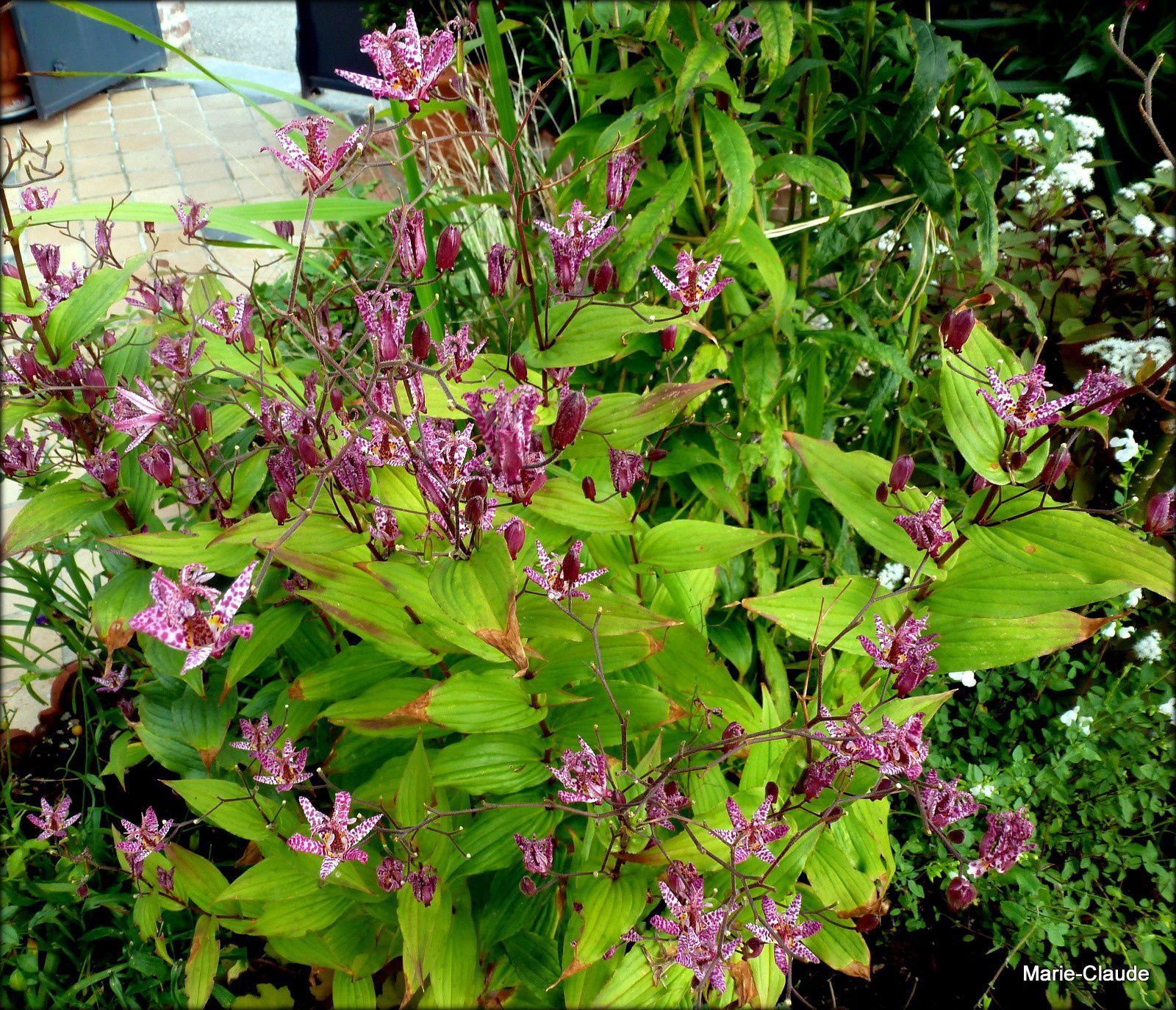 Plante d'automne, la fleur à la varicelle,