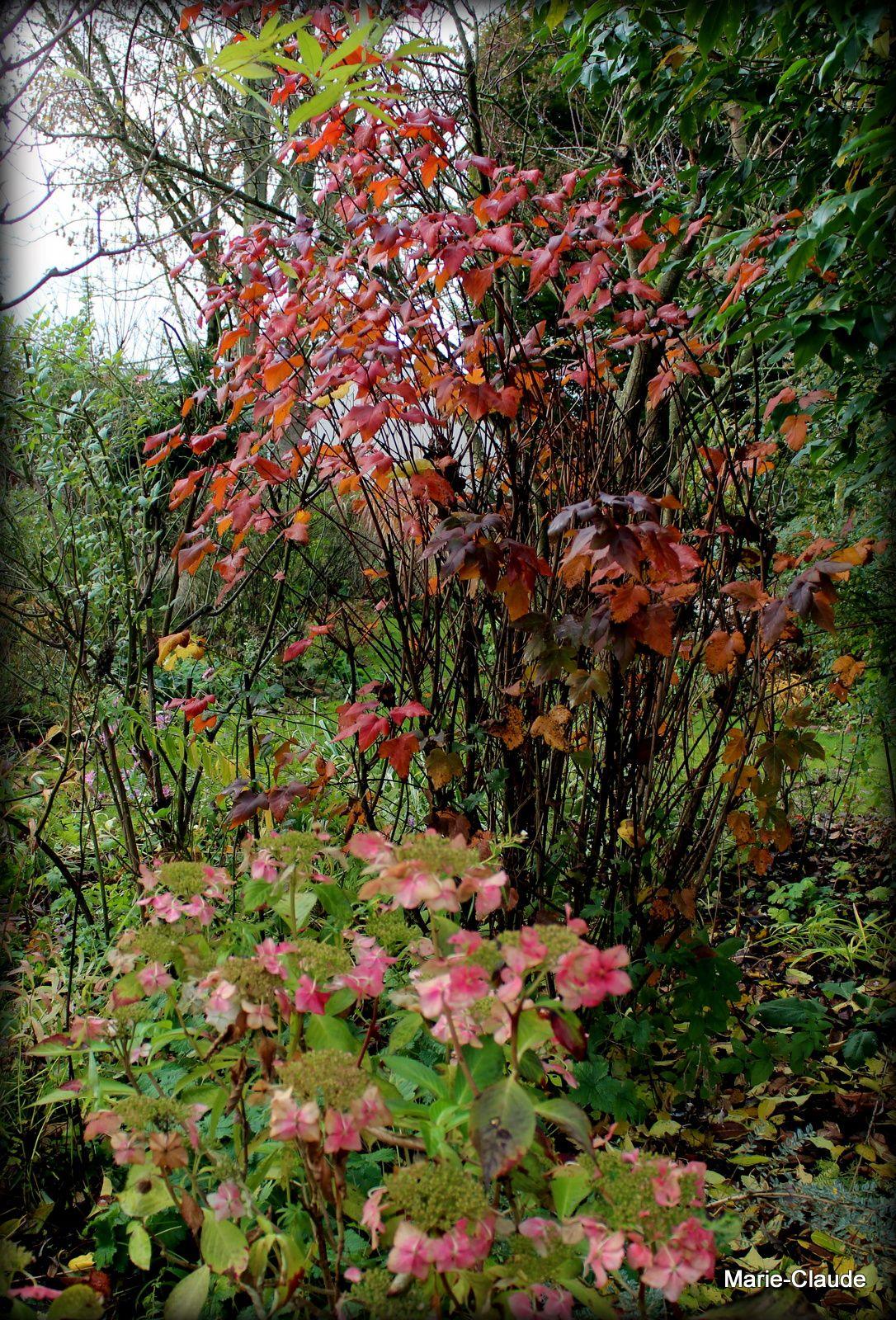Physocarpus opulifolius et hydrangea