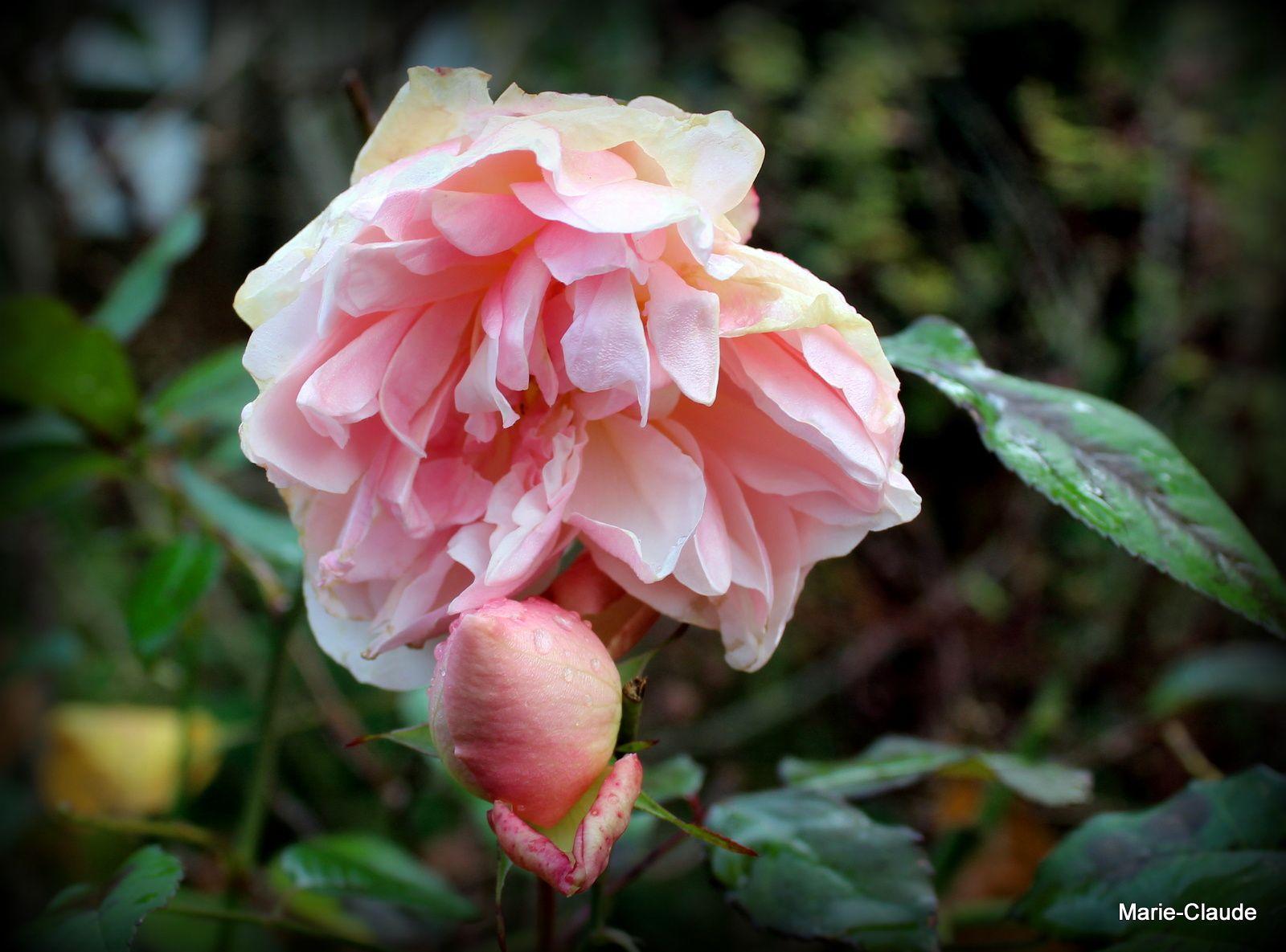 Des roses qui font de la résistance,