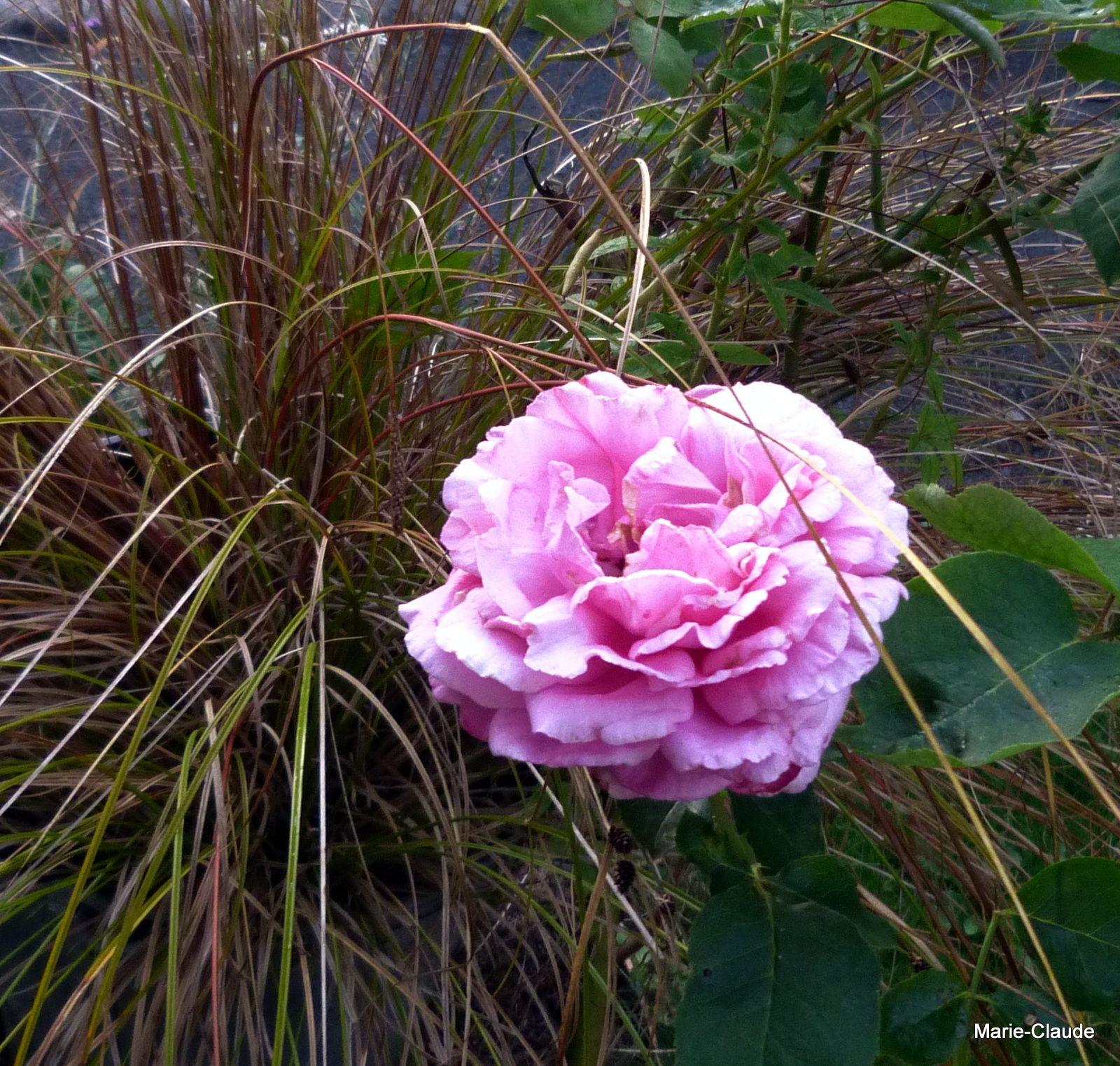 Carex buchananii avec la grosse rose Yves Piaget