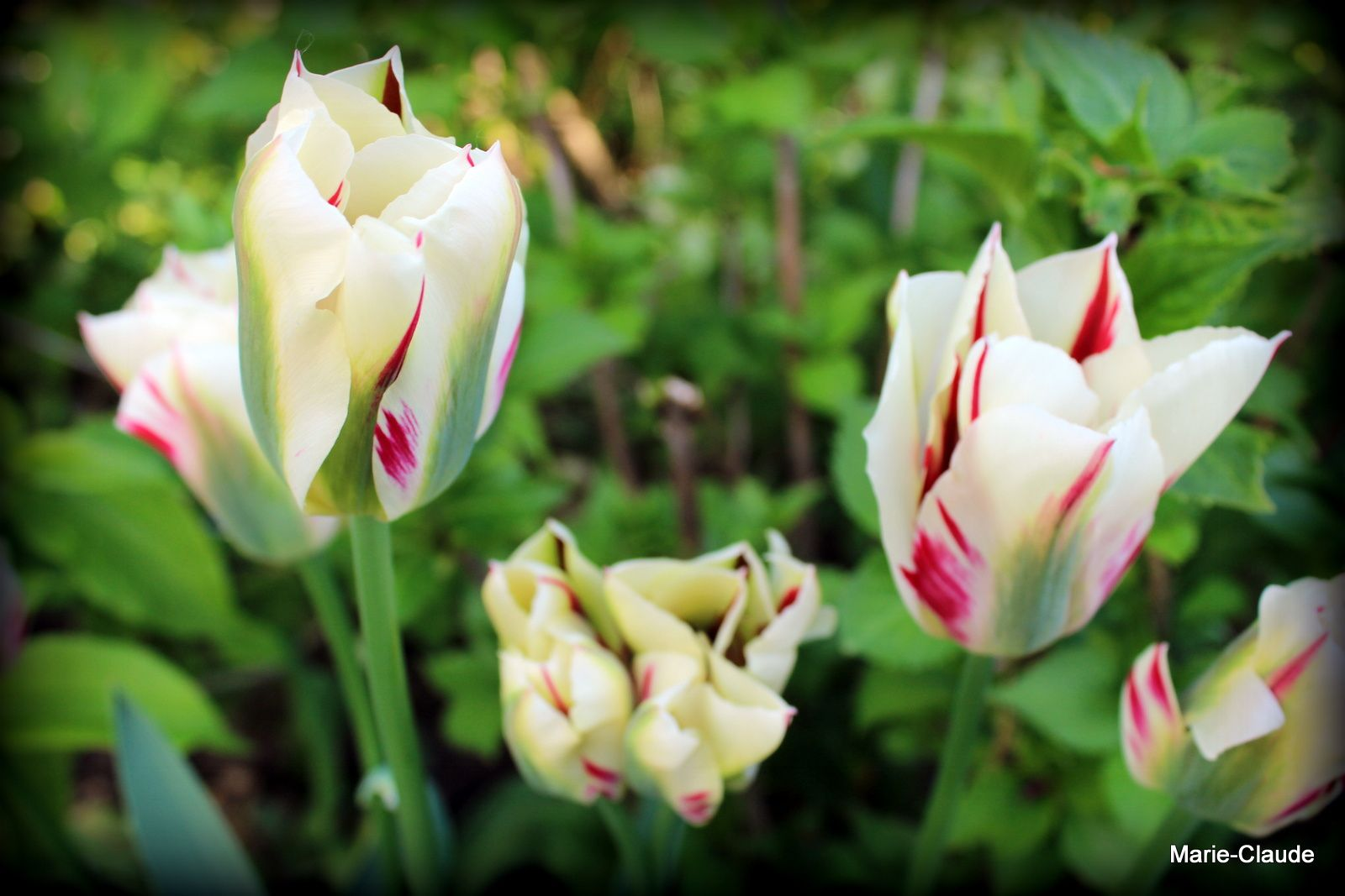 Tulipes  Flaming spring green ,