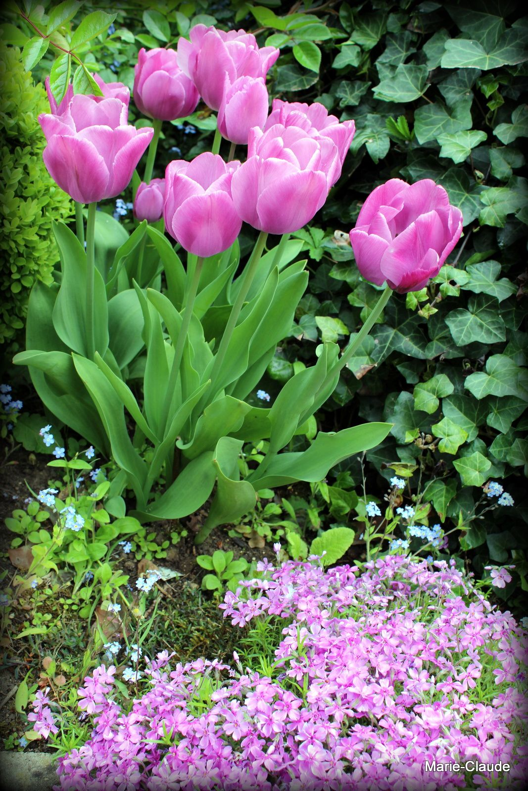 Tulipes de mai,