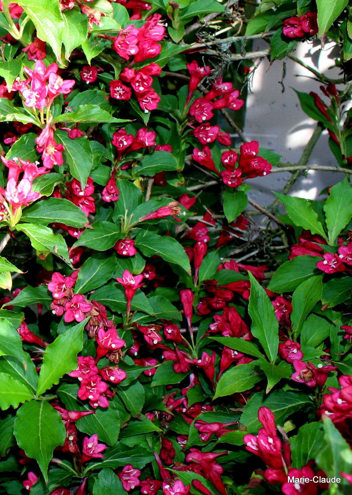 Weigelia 'Red prince'