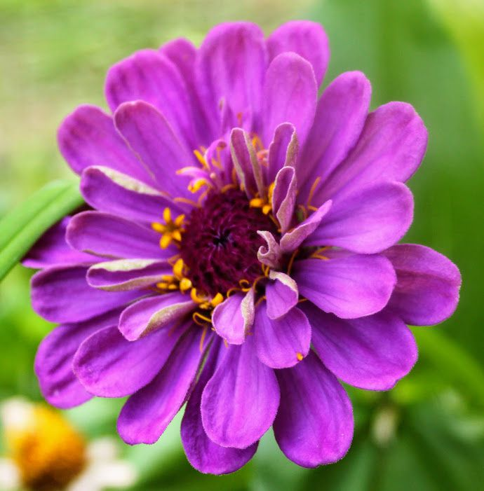 Zinnia 'Purple prince ' ,