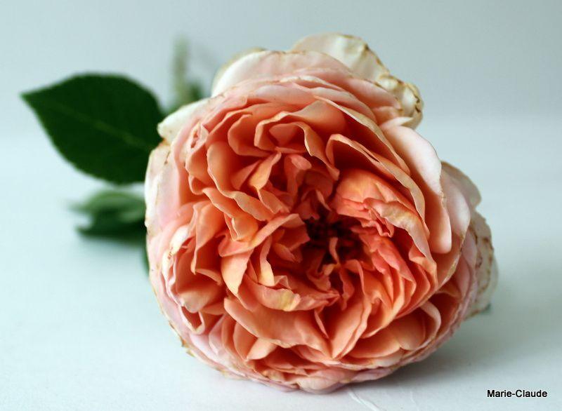 Les variétés de roses qui composaient mon bouquet,