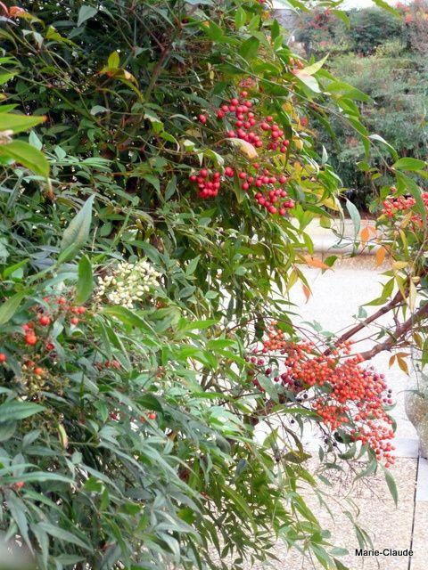 Des Nandinas à fleurs blanches et fruits rouges, ces arbustes persistants, très beaux sont installés dans de grands bacs,