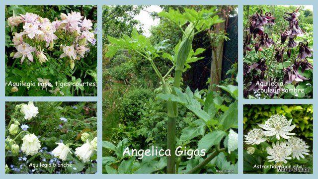 Aquilegias, Angelica et  Astrantia, toutes des vivaces qui ne fleuriront pas cette année mais qui seront au rendez-vous durant plusieurs saisons