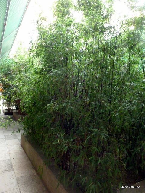 Des massifs de bambous,