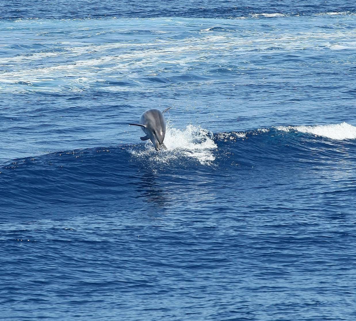 Les dauphins en Corse