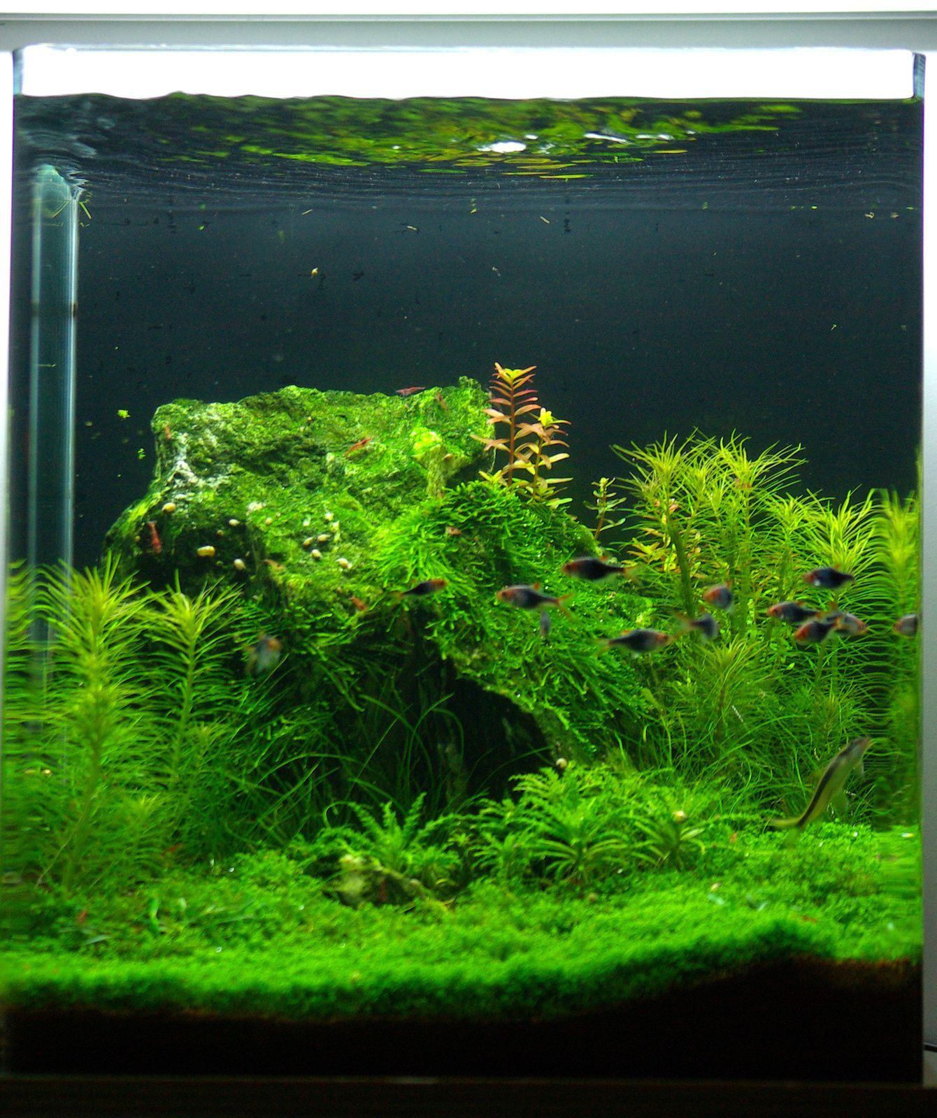 Nano Cube Dennerle 60 Litres, phase finale- - Aquascaping et ...