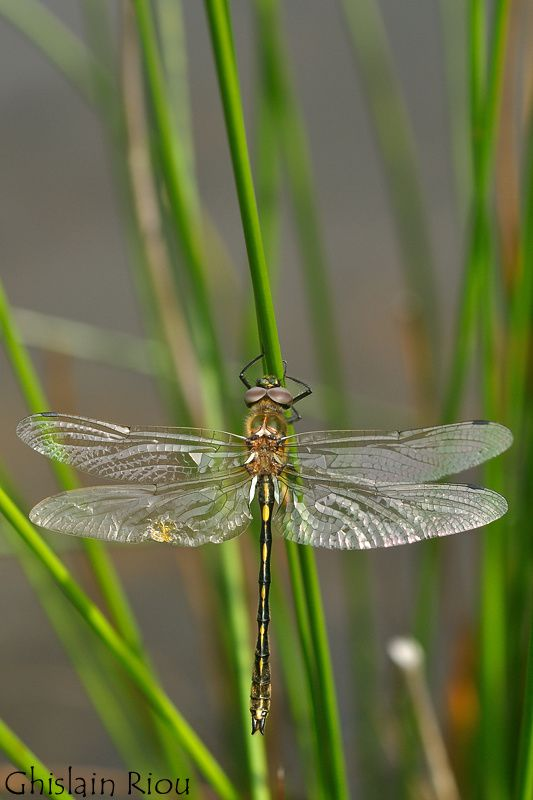 Oxygastra curtisii - Orange-spotted Emerald