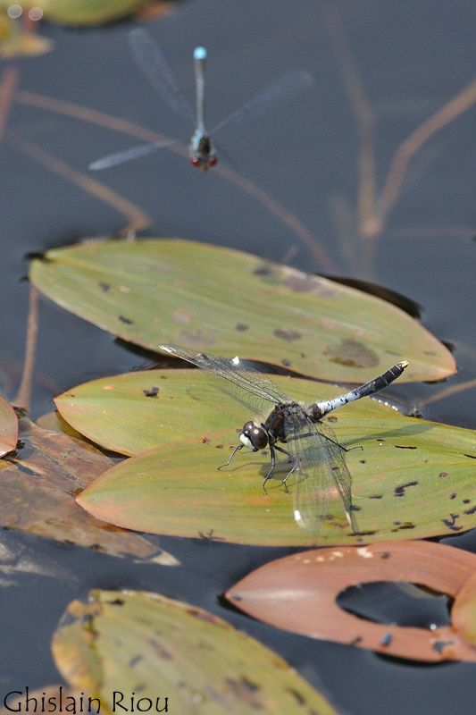 The Dragonflies of Brittany